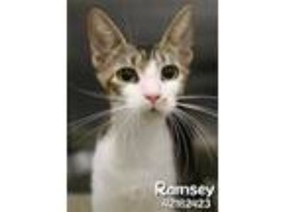 Adopt Ramsey a Gray or Blue American Shorthair / Domestic Shorthair / Mixed cat
