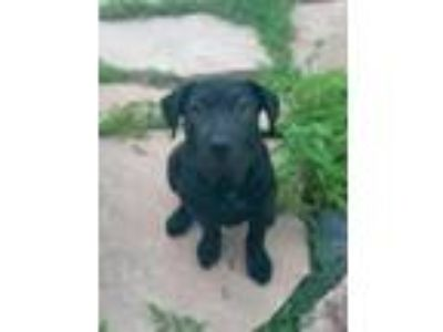 Adopt Marcelo a Black Plott Hound / Labrador Retriever dog in Denver