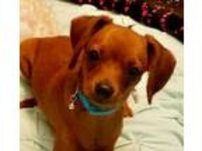 Adopt Casper * FOSTER NEEDED JUNE 13* a Dachshund