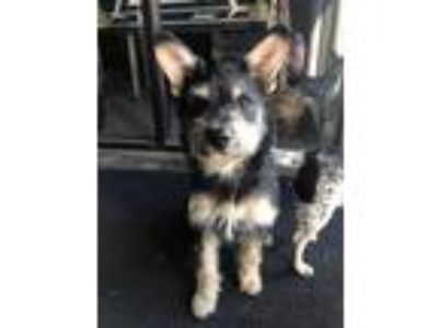 Adopt Meatloaf a Black - with Tan, Yellow or Fawn Standard Schnauzer / Cairn