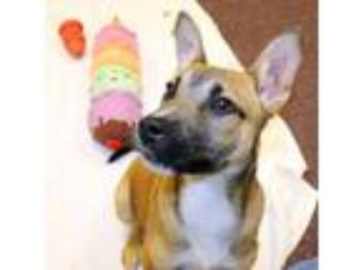 Adopt Roscoe a German Shepherd Dog