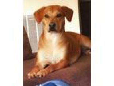 Adopt Bella a Brown/Chocolate - with White Jack Russell Terrier / Cocker Spaniel