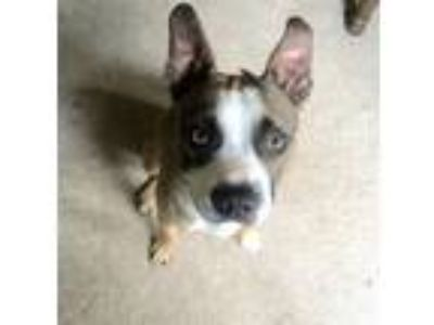 Adopt ~willy wonka~ a Boston Terrier, Pit Bull Terrier