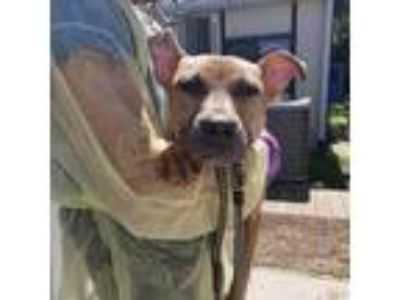 Adopt Pistachio a Tan/Yellow/Fawn American Pit Bull Terrier / Mixed dog in