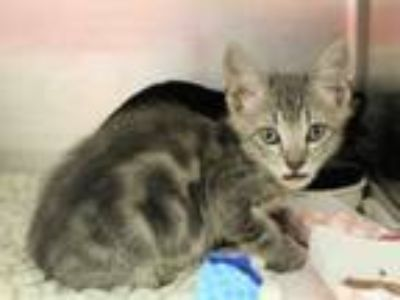 Adopt ROLAND a Domestic Short Hair