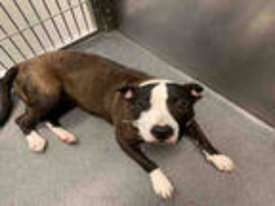 Adopt PEBBLES a Brindle - with White Bull Terrier / Mixed dog in Dallas
