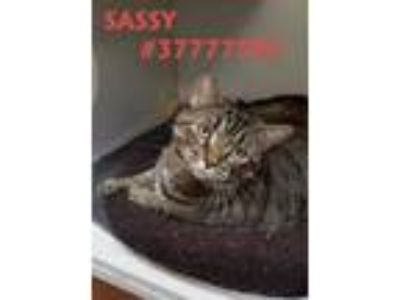 Adopt Sassy - Stray a All Black Domestic Shorthair / Domestic Shorthair / Mixed