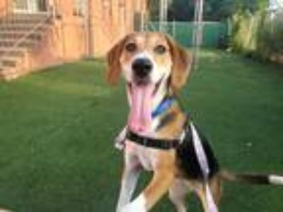 Adopt Lady a Tricolor (Tan/Brown & Black & White) Beagle / Mixed dog in Norwalk