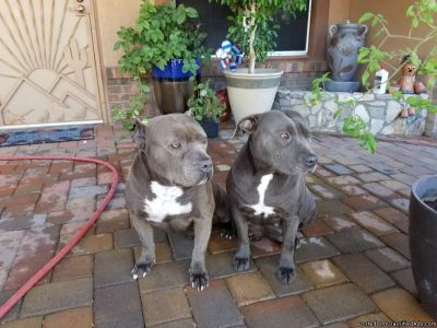 Purebred Bluenose Pitbull Puppies for Sale