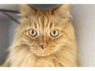 Adopt Lion a Domestic Longhair / Mixed cat in Pittsburgh, PA (25894295)