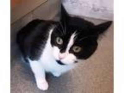 Adopt Oreo a Domestic Shorthair / Mixed cat in Concord, NH (25884072)