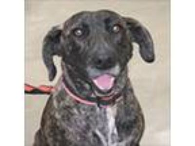 Adopt Ethel a Brindle Plott Hound / Labrador Retriever / Mixed dog in Little
