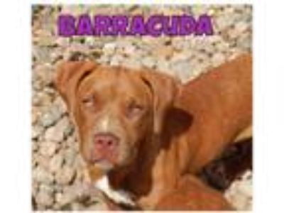 Adopt Barracuda a Red/Golden/Orange/Chestnut - with White Dogue de Bordeaux /