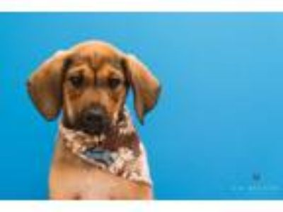 Adopt Buck Owens a Coonhound / Mixed dog in Madison, GA (25560316)