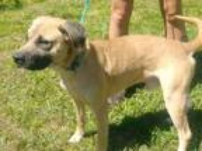 Adopt Phillip a Shepherd, Black Mouth Cur
