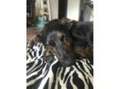Adopt Elsa a German Shepherd Dog, Labrador Retriever