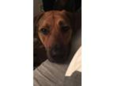 Adopt Quincy a Brown/Chocolate - with Tan German Shepherd Dog / Labrador