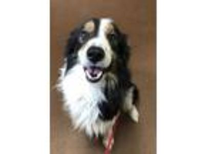Adopt Bullet a Black Border Collie / Australian Shepherd / Mixed dog in