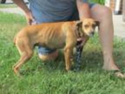 Adopt Sally a Carolina Dog