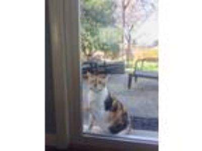 Adopt Vida a Calico or Dilute Calico Calico / Mixed cat in Silver Spring