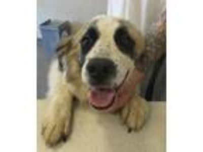 Adopt Bianca a Great Pyrenees / Mixed dog in Rome, GA (25792705)