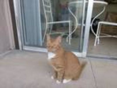 Adopt Spitfire a Orange or Red Tabby American Shorthair / Mixed cat in