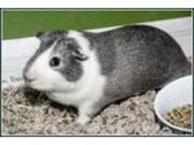 Adopt DIZZY a Silver or Gray Guinea Pig / Guinea Pig / Mixed small animal in