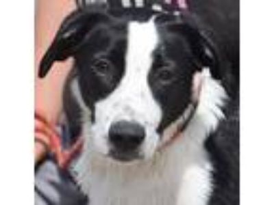 Adopt Spuds a Black - with White Border Collie / Labrador Retriever / Mixed dog