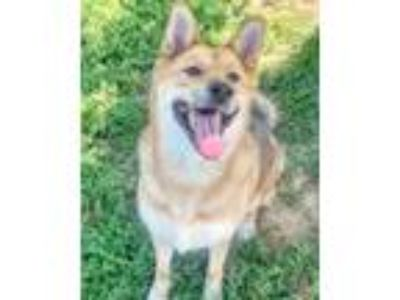 Adopt Aires a Shepherd, Mixed Breed