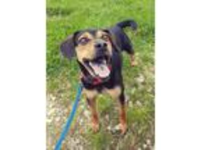 Adopt Boomer a Beagle / Mixed dog in Fremont, OH (25370235)