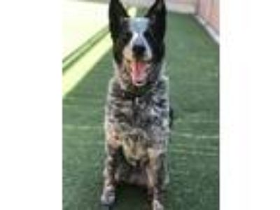 Adopt Cupcake a Australian Cattle Dog / Border Collie / Mixed dog in Oceanside
