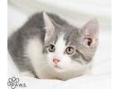 Adopt Ford a Gray or Blue Domestic Shorthair / Domestic Shorthair / Mixed cat in