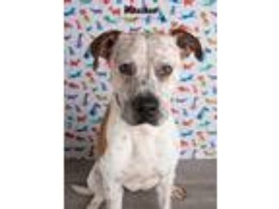 Adopt Manchas a White - with Brown or Chocolate Pointer / Boxer dog in Denver