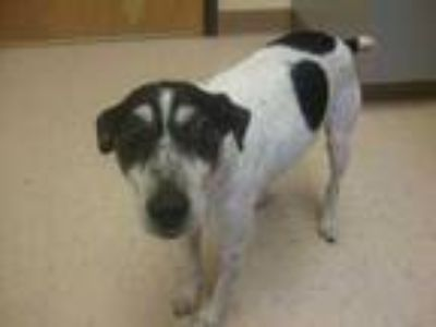 Adopt Buddy a White Jack Russell Terrier / Mixed dog in Winchester