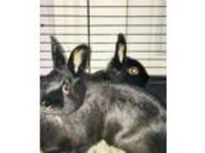 Adopt Kevin and Midnight a Black Dwarf / Mixed (short coat) rabbit in