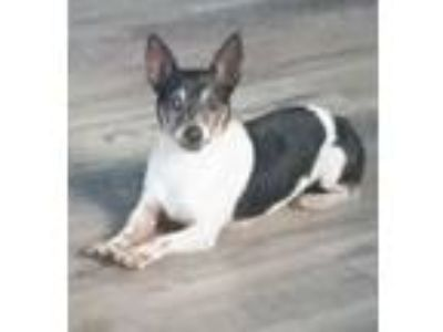 Adopt Pony a Rat Terrier