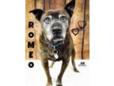 Adopt ROMEO a Pit Bull Terrier