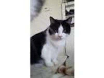 Adopt Emilyanne a Black & White or Tuxedo Domestic Shorthair (short coat) cat in