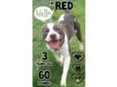 Adopt Red a Gray/Blue/Silver/Salt & Pepper Mixed Breed (Large) / Mixed dog in