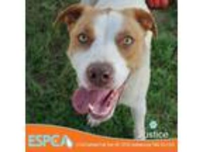 Adopt Justice a Tan/Yellow/Fawn Labrador Retriever dog in Enid, OK (25916006)