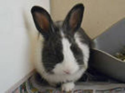Adopt THUMPER a White Other/Unknown / Mixed rabbit in Denver, CO (25883166)