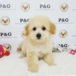 Maltese-Poodle (Toy) Mix PUPPY FOR SALE ADN-105554 - MALTIPOO SHARON FEMALE