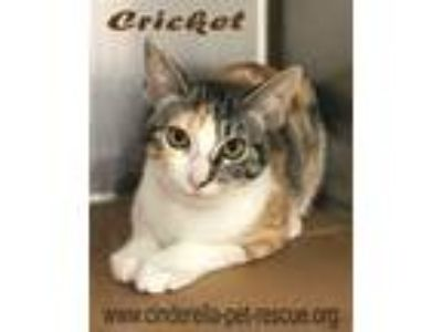 Adopt Cricket a Domestic Shorthair / Mixed cat in Mission, TX (23072198)