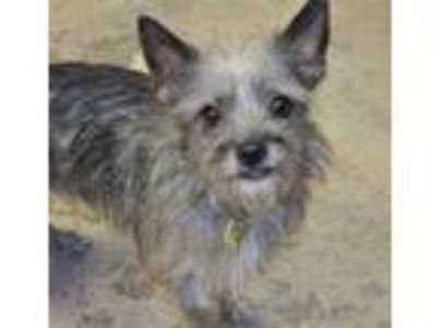 Adopt Dolly a Yorkshire Terrier