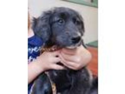 Adopt Bubbles - pending a Black - with Tan, Yellow or Fawn German Shepherd Dog /