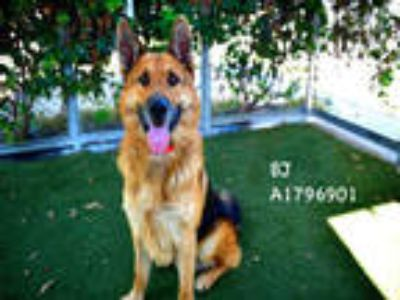 Adopt BJ a Black - with Tan, Yellow or Fawn Mixed Breed (Medium) / German