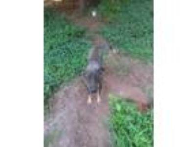 Adopt Mercedes a Brown/Chocolate German Shepherd Dog / Shar Pei dog in Atlanta