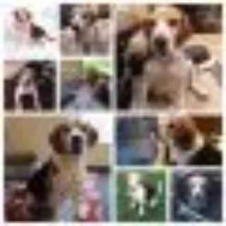 Hank Beagle Dog