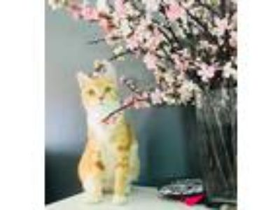 Adopt Jinxy a Orange or Red Tabby American Shorthair / Mixed cat in Brooklyn