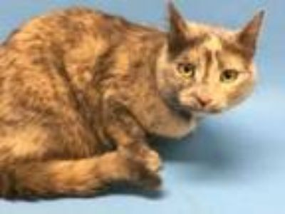 Adopt Tilly a Gray or Blue Domestic Mediumhair / Domestic Shorthair / Mixed cat